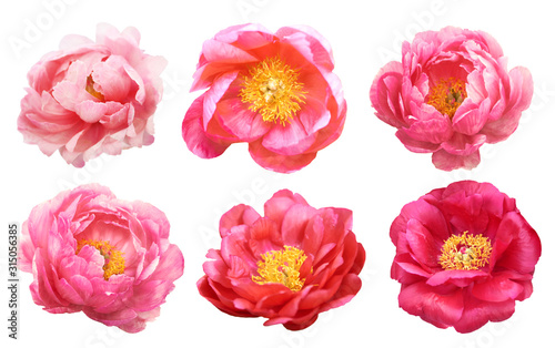 Beautiful peonies on white background. Pink flowers isolated. - 315056385