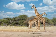 South African Giraffe Go To Waterhole, Giraffa Giraffa, At Etosha National Park, Africa Namibia Safari Wildlife