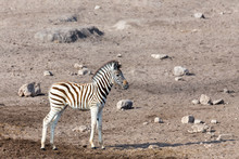 Cute Baby Foal Of Zebra In Eto...