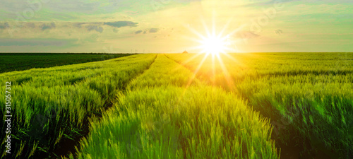 Fototapeta Breathtaking panorama of a barley field in the evening, illuminated by the sun - landscape obraz