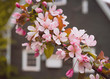 canvas print picture - Pink flowering crab apples in the spring garden.
