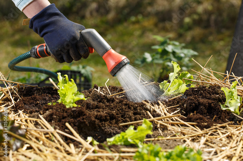 Obraz Gardener watering freshly planted seedlings in garden bed for growth boost with shower watering gun. - fototapety do salonu