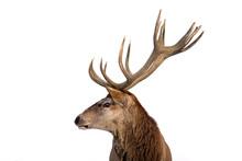 Beautiful Closeup Of A Deer Wi...