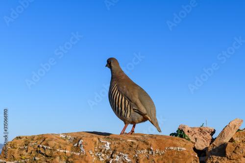Wild Red-legged Partridge (Alectoris rufa) in natural habitat at Cape Sounion in Canvas Print