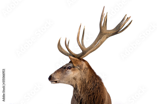 Beautiful closeup of a deer with antlers on isolated background. Wallpaper Mural
