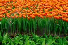 Beautiful Orange Tulips At Chiang Rai ASEAN Flower Festival 2019