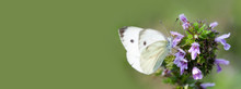 Cabbage Butterfly On Pink Peta...