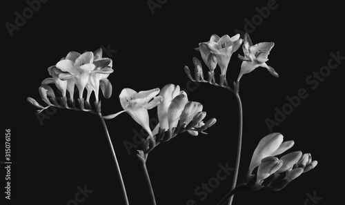 Fototapety, obrazy: Four white freesias with blooms and buds, monochrome macro,black background