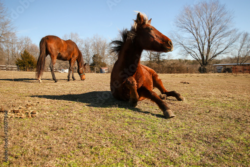 Portrait of a large red brown horse with a blonde mane rolling in his pasture