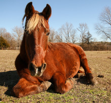 Red Brown Horse With Blonde Ma...