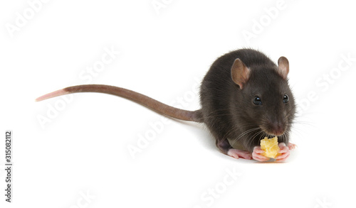 Fototapety, obrazy: rat and cheese isolated on white