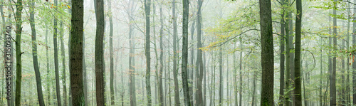 Panoramic Background of Foggy Beech Forest in Autumn