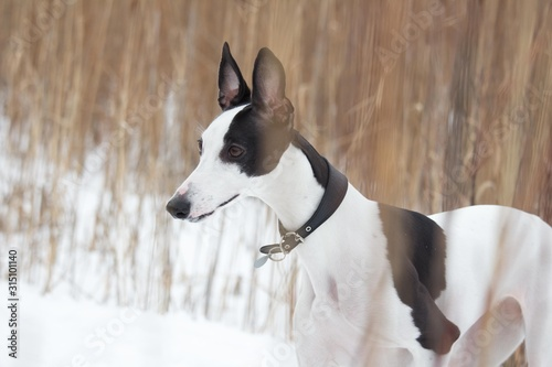 white and black smooth-haired dog in the winter on the snow stands Canvas Print