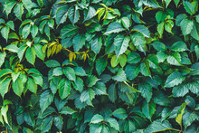 Dark Green Hedge, Creeper Leaves On The Wall. Natural Pattern Of Hedgerow, Texture. Shrubs Trees, Wild Vine Leaf Background.