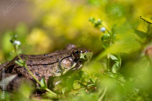 grenouille Canvas Print