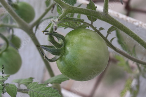 close up green cherry tomato on vine