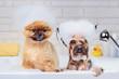 Pomeranian and yorkshire terrier having foam bath