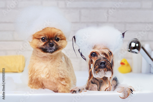 Fototapeta Pomeranian and yorkshire terrier having foam bath obraz