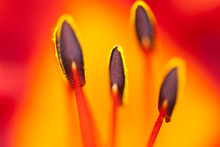 Close Up Of Day Lily Stamens