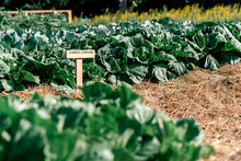 Keep The Pests Away. Name Plate/sign Chinese Cabbage On Plant Nursery Of Organic Vegetables Surrounded By Nature. Young And Fresh Salad Growing On Hydroponic Farm. Horizontal Shot