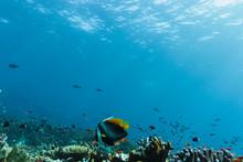 Tropical Fish Swimming Underwa...