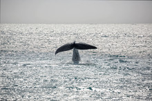 Tail Of Breaching Whale Over Sunny Atlantic Ocean Greenland
