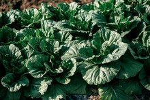 Green World. Close Up Of Organic Green Chinese Cabbage Plantation On A Sunny Day. Plant Nursery Of Organic Vegetables Outdoors. Horizontal Shot
