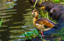 Portrait Of A Egyptian Goose S...