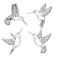 Set Hummingbirds. Sketch Penci...