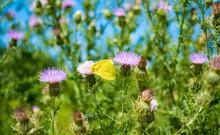 A Cloudless Sulphur Butterfly ...