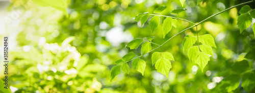 Fototapeta Close up of nature view green leaf on blurred greenery background under sunlight with bokeh and copy space using as background natural plants landscape, ecology cover concept. obraz