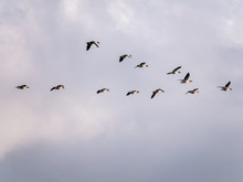 Greylag Geese, Anser Anser, Fl...