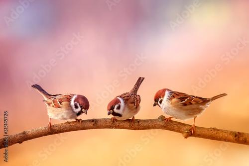 three small funny birds sit on a branch in a Sunny spring garden Fototapeta