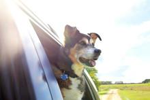 Beautiful Happy German Shepherd Mix Breed Dog Sticking His Head Out Car Window