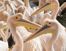 Great White Pelicans (Rosy Pelican), Close Up