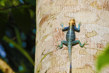 Colorful Agama Lizard On A Tre...