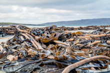 Seaweed Lying On Portnoo Beach...
