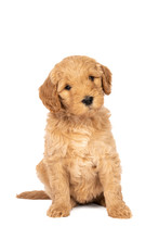 Cute Labradoodle Puppy Sitting...