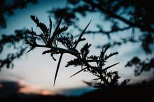 Thorn-bush Tree At Sunset 3