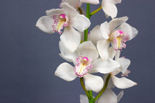 White Cymbidium Dark Background Tropical Flower Orchid