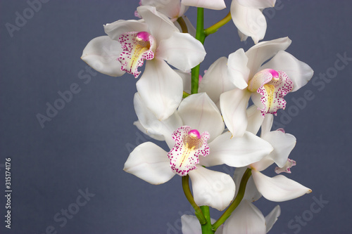 Fototapeta white cymbidium dark background tropical flower orchid obraz
