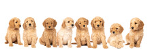 A Litter Of Cute Labradoodle Puppies Sitting Looking At The Camera Isolated On A White Background With Space For Text