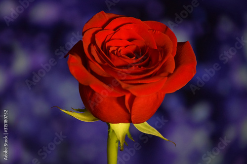 Red Rose, Valentines Flowers Close-Up with Blue Bokeh Background