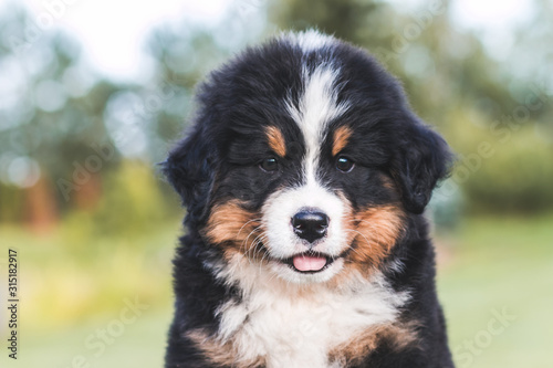 Photo Bernese mountain dog puppy posing outside. Puppies in the kennel.