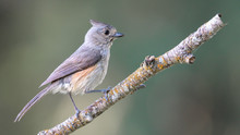 Tufted Titmouse - North Americ...