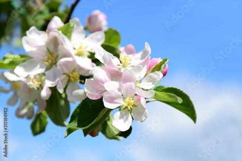 Apfelbaum Blüten -  Apfelbaumblüten zur Blütezeit in Südtirol Canvas Print