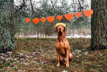Ginger Hungarian Vizsla Dog In...