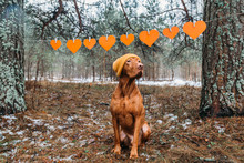 Ginger Hungarian Vizsla Dog In A Knitted Hipster Hat Sits On A Background Of St. Valentine's Day Decor. Red Hearts.