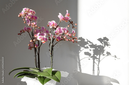 Fototapeta A beautiful and colorful indoor orchid plant in a white vase illuminated by a soft natural view from a window  obraz
