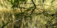 Florida Alligators In Natural ...